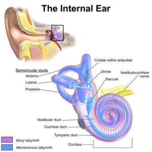 Hearing Loss causes in the Inner Ear